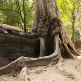 Old wall and tree. Ta Prohm temple, Cambodia Stock Photography