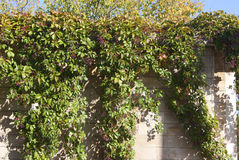 Old wall with vines. Old stone wall with ripe vines Royalty Free Stock Photo