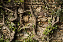 Old wall with vines Stock Photo