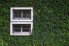 Old Wall With Window Overgrown with wild green plantOld Wall Wit Royalty Free Stock Photos
