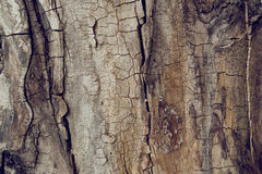 Old wallnut tree trunk texture Royalty Free Stock Images