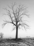 The Old Walnut Tree. This old walnut tree was photographed during the winter using a Minolta film camera and was edited to black and white Stock Photos