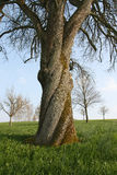 An old walnut tree. With beautiful twisting trunk Stock Image