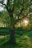 Old walnut tree on the lake bank. In the afternoon sunlight Royalty Free Stock Photography