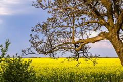 Old walnut tree without leaves on the background of a yellow field sown with rape, and blue sky stock image