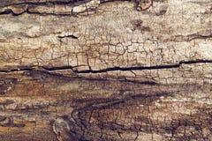 Old walnut tree trunk texture Royalty Free Stock Photos