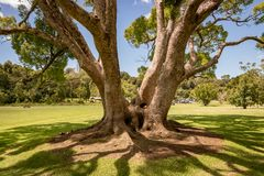 Old Chestnut Tree In Park royalty free stock photos