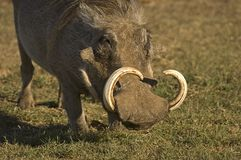 Old Warthog. Male Warthog feeding on Grass Royalty Free Stock Image