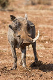 Old warthog with one tooth look tired Stock Photography