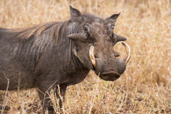 Old warthog standing in dry grass looking for something green Royalty Free Stock Images