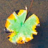 Old water lily leaf. Leaf on water in yellow, green and black stock photography