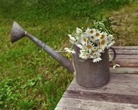 Old watering can with bunch of daisy flowers Stock Image