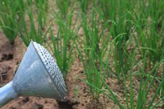 Old watering can on plant. Thailand royalty free stock photos
