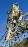 Old animal skull covered with lichen on sky background. Old weathered animal skull covered with lichen on sky background stock images