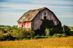 Old Weathered Barn. An old barn no longer used. Overgrown with vines royalty free stock image