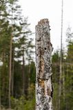 Old weathered birch stump Stock Photography