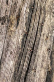 Old Weathered Cracked Nailed Pinewood Floorboards Rotten Grunge Texture Royalty Free Stock Photos