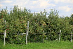 Old weathered fence and apple trees Stock Photography