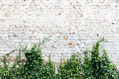 Old and weathered grungy brick wall painted in white with common ivy or English ivy, Hedera helix. Clinging evergreen plant growing and climbing the wall as stock image