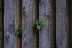 Old Weathered Knotty Pine Wood Fence with Foliage Stock Photo