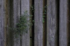 Old Weathered Knotty Pine Wood Fence with Foliage Royalty Free Stock Photos