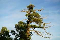 An old weathered oak tree in the evening sun. royalty free stock images