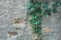 Old weathered stucco wall with Parthenocissus inserta Woodbine. Old weathered stucco wall with hanging decorative woody vines of Parthenocissus inserta Woodbine Stock Image