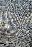 Old Weathered Stump with Tree Rings. Gray and cracked cross section of an old tree stump Stock Images