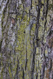 Old weathered tree bark. Tree bark texture background linden tree green and brown Stock Images