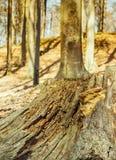 Old weathered tree stump Royalty Free Stock Photo