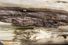 Old weathered tree trunk, deadwood Stock Photography