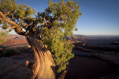 Old weathers desert Juniper at sunset Royalty Free Stock Photos