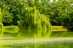 Old weeping Chrysocoma tree in the park. Old weeping Chrysocoma tree located over lake in the park royalty free stock image