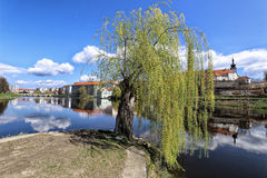 Old weeping willow on the island by the city Pisek. Old weeping willow on the island by river of Pisek city royalty free stock photo