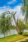 Weeping willow tree. Old weeping willow tree in the Alexandru Ioan Cuza Park, Bucharest, Romania. Daylight, summer, 2018 stock photos
