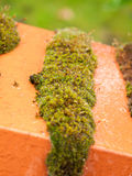 Old wet red brick wall with a lot of green moss and lichens. England; UK royalty free stock photo