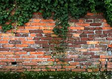 Old brick wall with ivy and moss. Old wethered brick wall with ivy in the top side and moss Stock Photo
