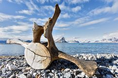 Old whale bone on the coast of Spitsbergen, Arctic Royalty Free Stock Images