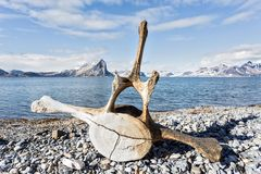 Old whale bone on the coast of Spitsbergen, Arctic Stock Photography
