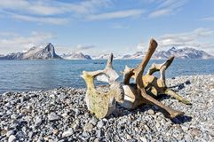 Old whale bones on the coast of Arctic Stock Image