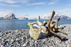 Old whale bones on the coast of Spitsbergen, Arctic Royalty Free Stock Photo