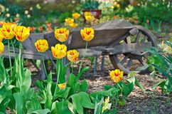 Old wheelbarrow with yellow tulips Stock Photo