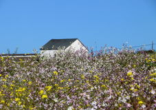 Old white barn in a field of wildflowers, CA. Stock Image
