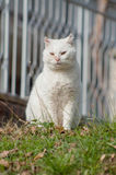 Old white cat Royalty Free Stock Image