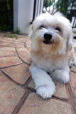 Old white color dog smiling on the ground Royalty Free Stock Photos