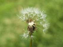 Old white common dandelion blowballs that lost some seeds on green background - taraxacum officinale. Old white common dandelion blowballs that lost some seeds Royalty Free Stock Image