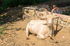 Old white goat looks the sun Royalty Free Stock Photography