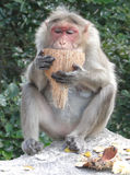 Old, white haired female rhesus monkey Royalty Free Stock Image