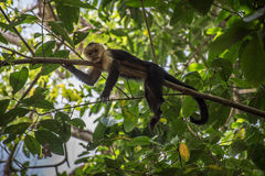 Old White-headed monkey in a tree in  Corcovado Stock Images