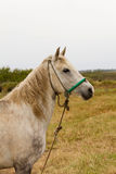 Old White Horse Stock Images